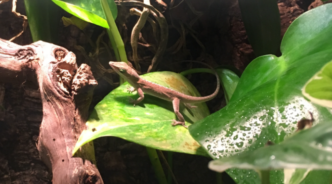 Anoles- about their habits and the care factors